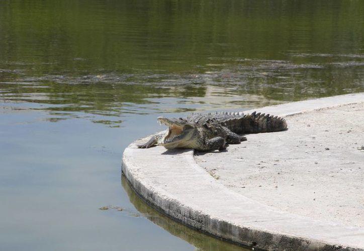 En un año es posible detectar hasta 10 casos  de muerte de cocodrilos en los Manglares de la Nichupté. (Tomás Álvarez/SIPSE)