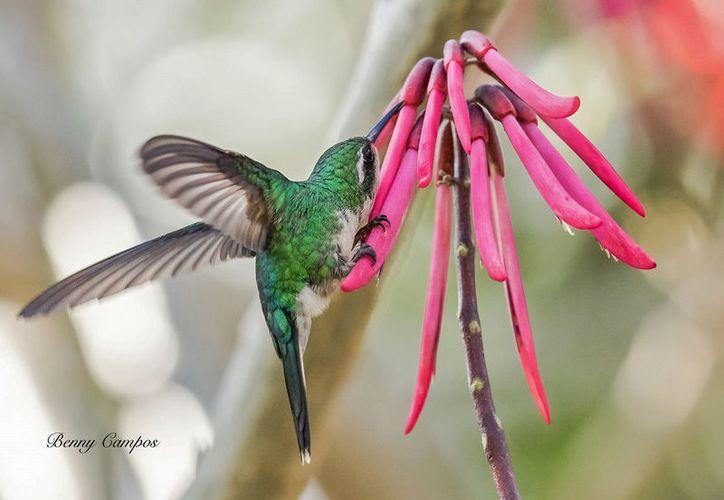Al festejo se unirá el fotógrafo norteamericano Benny Campos, con 30 imágenes del colibrí. (Foto: Cortesía)