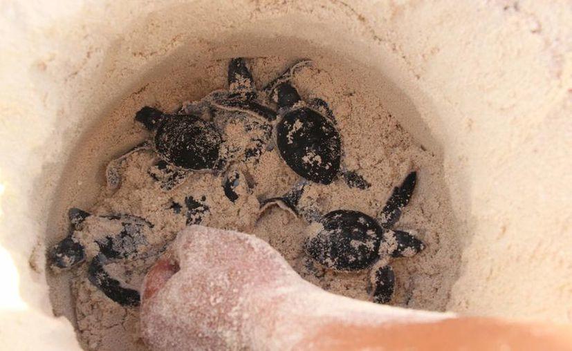 Los nidos de las tortugas son cuidados para evitar que sean invadidos o los huevos sean robados. (Israel Leal/SIPSE)