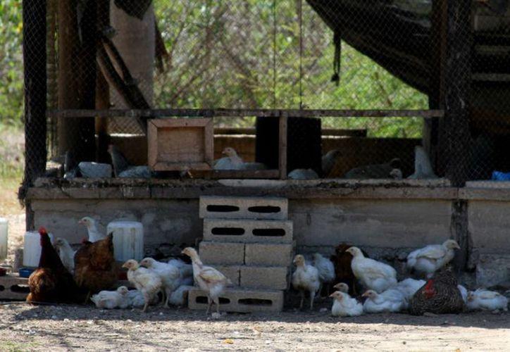 De acuerdo con la Dirección de Fomento Agropecuario y Pesquero, las zonas rurales pueden presentar un atractivo para los visitantes que deseen comprar productos orgánicos directamente en las granjas. (María Mauricio/SIPSE)