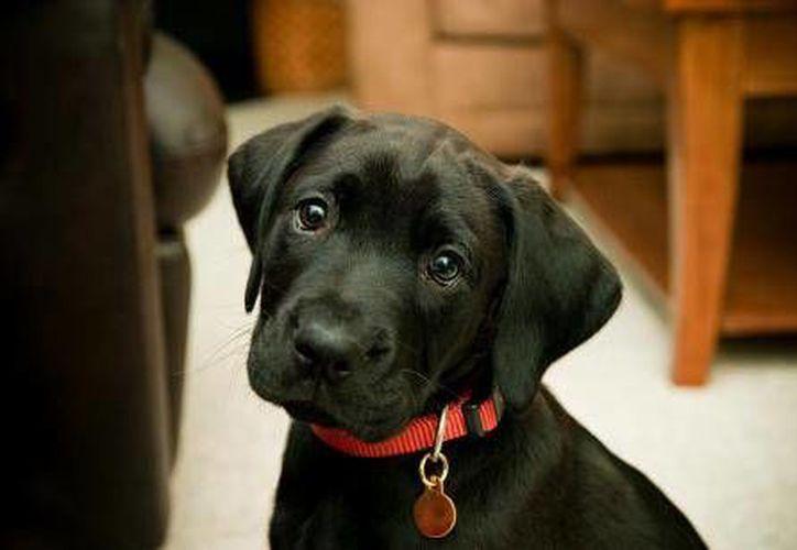 Algunos collares de perros pueden causar graves daños a la salud de tu mascota. (Contexto/Internet)