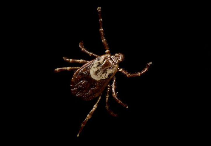 La  garrapata Amblyomma americanum puede provocar alergia a la carne en humanos. (National Geographic)