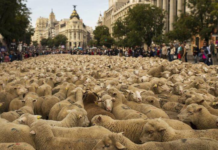 La expansión urbana en España ha puesto en peligro el pastoreo, oficio con siglos de tradición. (AP)