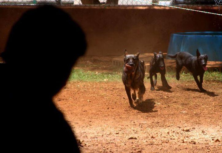 El entrenamiento de perros requiere de tiempo y cuidados extremos. (César González/SIPSE)