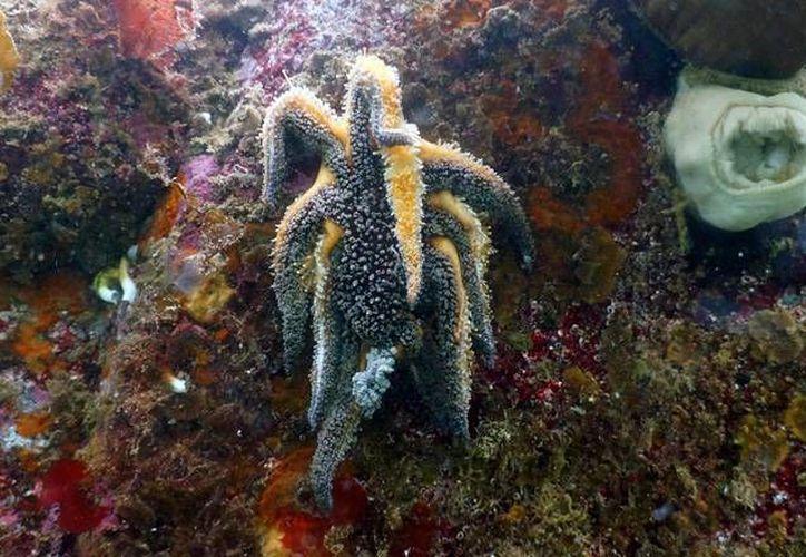 La enfermedad causa lesiones blancas en la piel de las estrellas de mar y una deformación inusual en sus extremidades. (vanaqua.org)