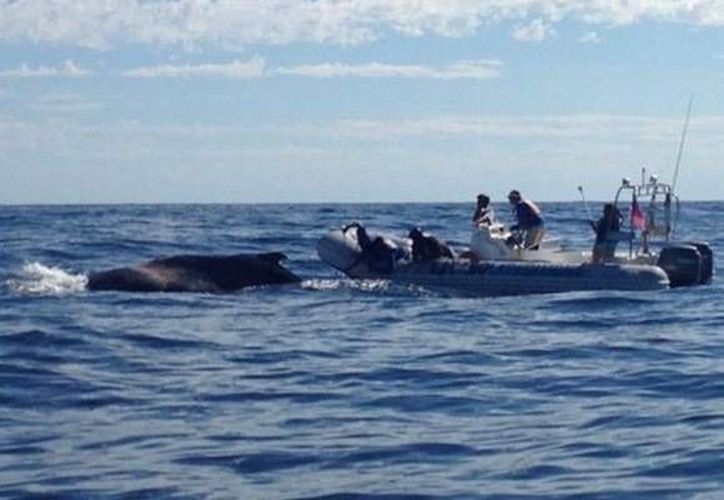 Las ballenas también pueden quedarse varadas como ha sucedido en Baja California Sur. (Cortesía/Profepa)
