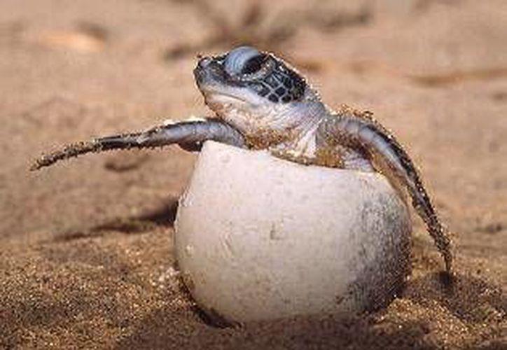 Presentan la norma para la conservación de la tortuga marina. (Redacción/SIPSE)