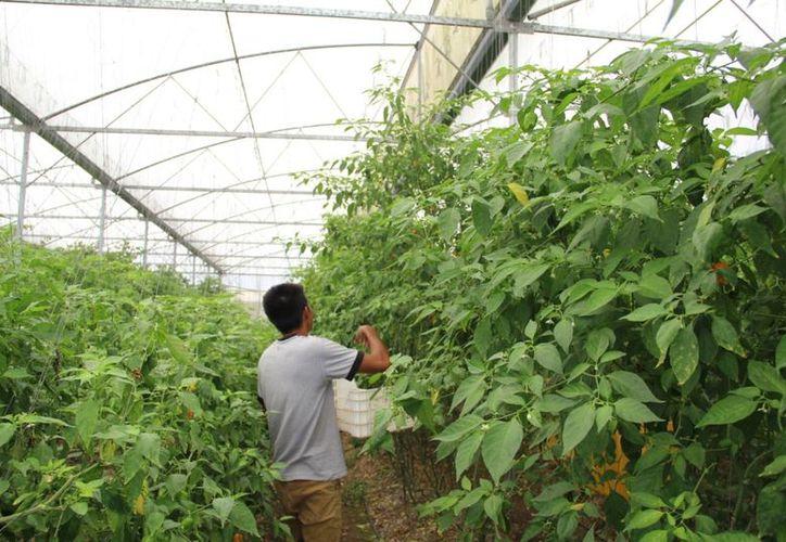 Las unidades de producción de Quintana Roo serán calificadas en sanidad e inocuidad. (Carlos Castillo/SIPSE)