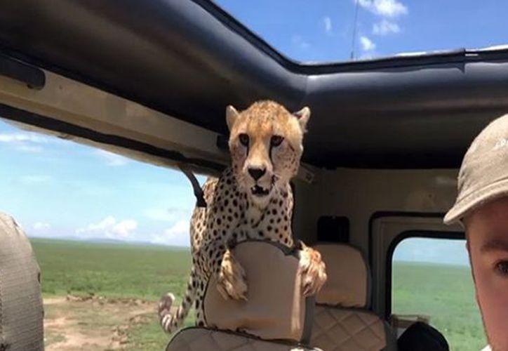 El animal inspeccionó el interior del vehículo y luego se retiró. (zocalo.com)