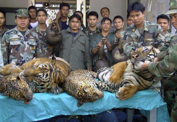 Funcionarios de la Armada y del Servicio Forestal de Tailandia muestran cadáveres de tigres y leopardos confiscados en un sitio de comercio ilegal de fauna junto al río Mekong. (AP)