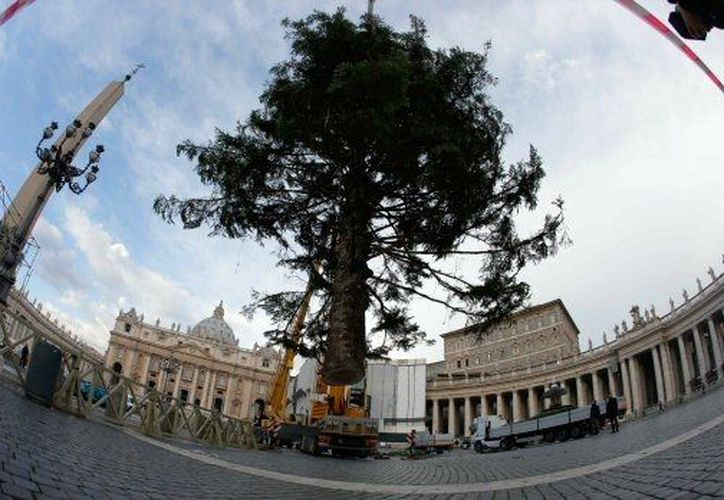 El enorme abeto decorará la navidad vaticana. (Agencias)