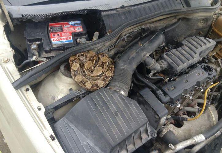 La serpiente se encontraba enroscada en el cofre de un automóvil. (Foto: Redacción/SIPSE)