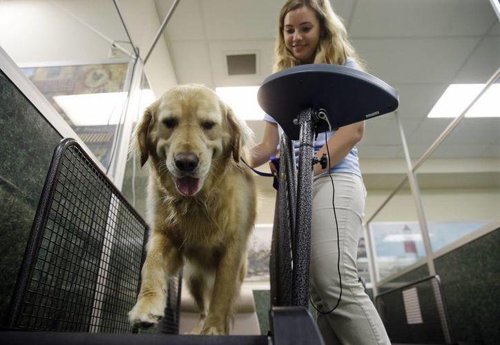 Los perros con kilos de más pueden presentar diabetes e insuficiencia cardíaca, tal como las personas obesas. (AP)