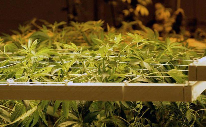 La DEA se niega a sacar la marihuana de la lista de drogas peligrosas. (Archivo/EFE)