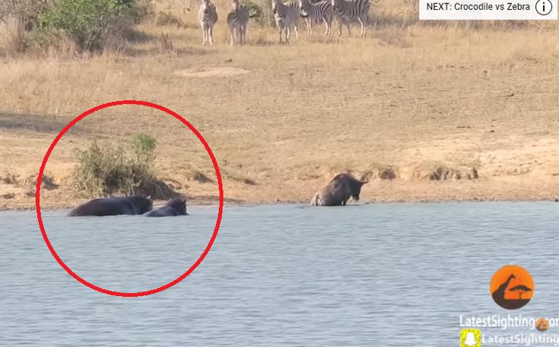 Hipopótamos salvan a ñu de ser devorado por cocodrilo