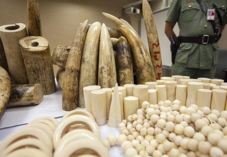 Traficantes de marfil consideran que una vez extinto el elefante, el precio del material se disparará. (EFE)
