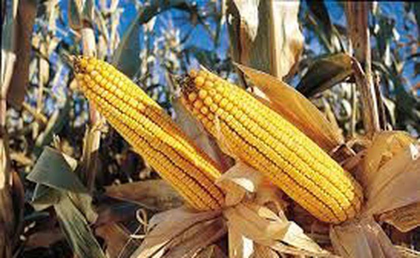 El estado le seguirá apostando a la producción de maíz, tanto en grano como para forraje. (Contexto/Internet)