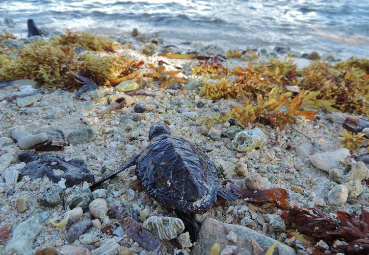 La tortuguita fue rescatada en el Parque Natural Chankanaab. (Foto: Gustavo Villegas/SIPSE)