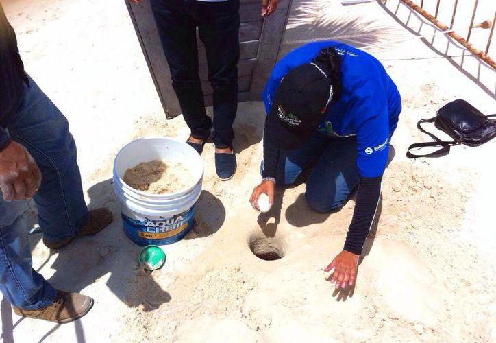 Ayer se encontraron dos nidos de tortugas marinas en arenales de playas turísticas de Playa del Carmen. (Daniel Pacheco/SIPSE)