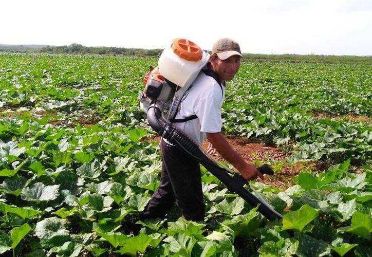Utilizan 17 metros cúbicos por hectárea de cultivo; su precio es menor en un 70% en relación al fertilizante químico. (Javier Ortiz/SIPSE)