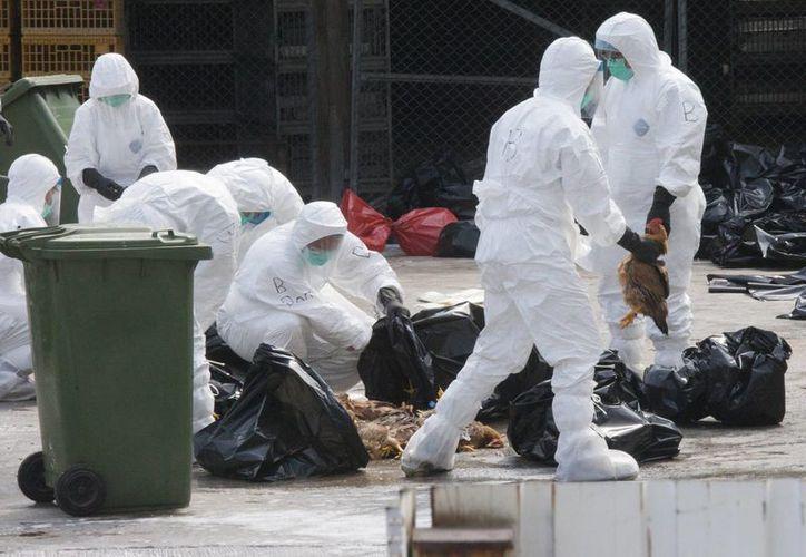 Las autoridades holandesas sacrificaron pollos en un grupo de tres granjas tras detectar nuevos casos de gripe aviar en el pueblo de Kamperveen. (Archivo/EFE)