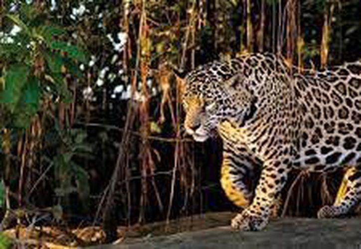 Tal como ya lo había advertido, las comunidades mayas insisten en que la ruta del tren amenaza al jaguar.  (Foto de contexto/Internet)