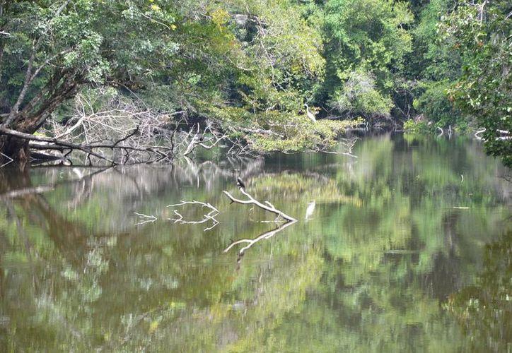 En el ejido de la Laguna Om han encontrado un gran número de la especie. (Foto: Juan Rodríguez)