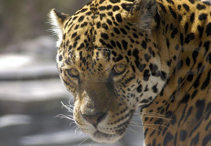El jaguar Panthera Onca es una especie en peligro de extinción. En Espita, pobladores denunciaron la cacería y venta ilegal de un ejemplar. (Foto: relatosdelanaturaleza.org)