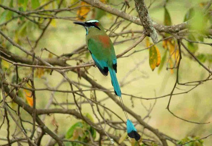 Pájaro Toh, su hábitat son los cenotes o cuevas donde haya agua. (Milenio Novedades)