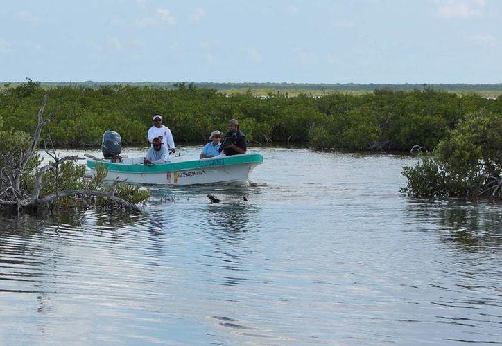Además de los embates naturales, se tuvo la presencia de flora invasora como la Casuarina, en el manglar de Cozumel. (Gustavo Villegas/SIPSE)