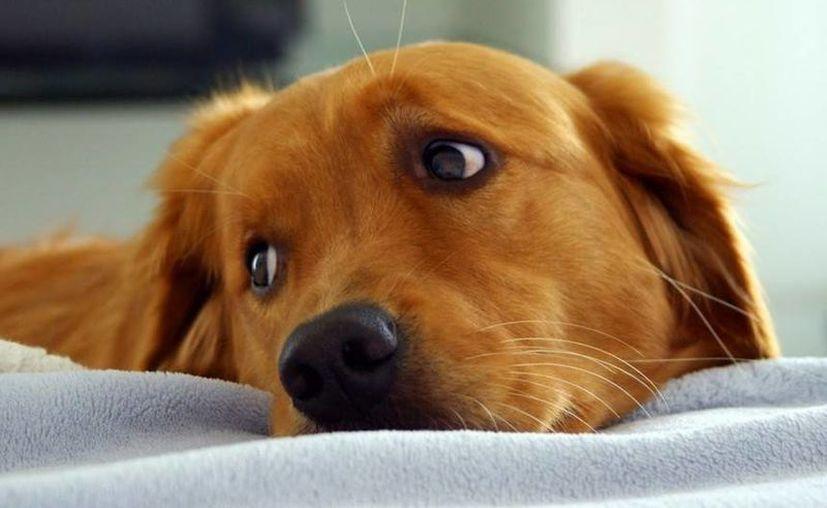 El daño que sufren las mascotas por los cohetes no sólo puede ser físico, ya que también se afecta su salud emocional. (wsimag.com)