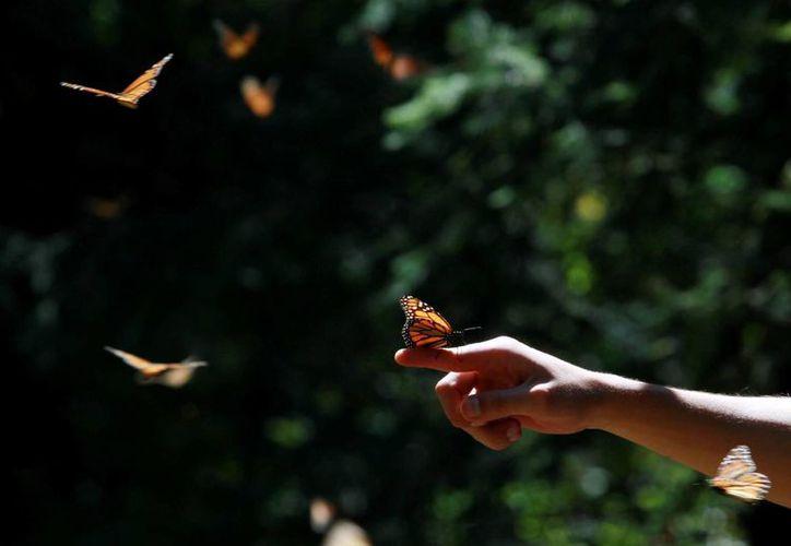 La mariposa monarca cumple su cita en México desde los primeros días de noviembre. (Notimex)