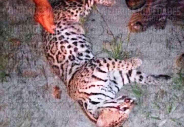 En las carreteras se han registrado muertes de grandes felinos. (Octavio Martínez/SIPSE)