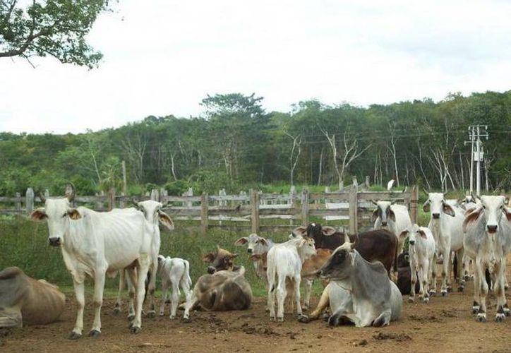 De acuerdo con la Ugroy, actualmente cuenta con 4,500 ganaderos afiliados que manejan más de 400 mil cabezas y la meta para 2015 es que sean 600 mil reses. (SIPSE)