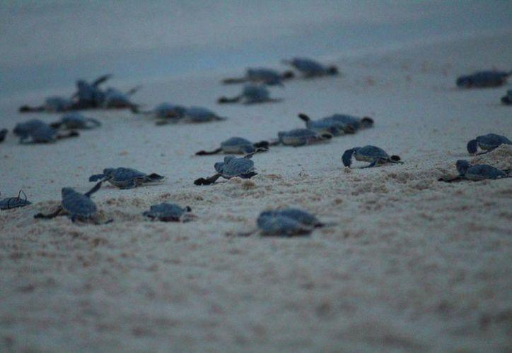 Solidaridad cuenta con 12 campamentos para cuidado y manejo de la tortuga marina. (Adrián Barreto/SIPSE)