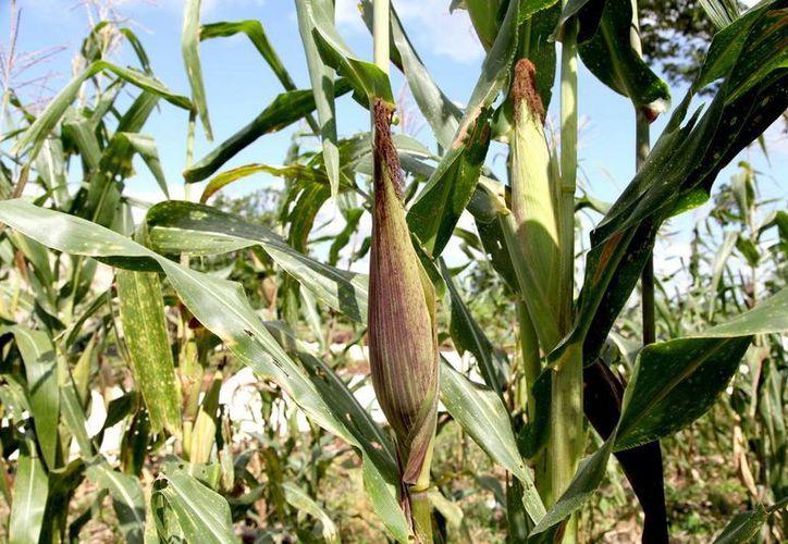 La Secretaría de Desarrollo Rural impulsa la producción de maíz, frijol y picante. (Redacción/SIPSE)