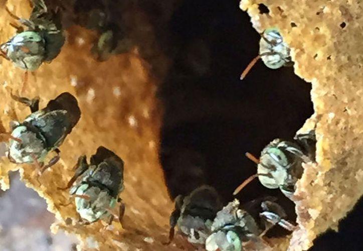 Que las temporadas de floración duran menos y por ende hay menor producción, menor alimento para las abejas. (Octavio Martínez/SIPSE)