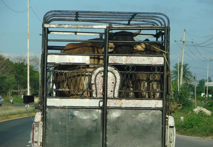 La unión de ganaderos de Felipe Carrillo Puerto sugiere a sus agremiados colocar aretes a sus animales para tenerlos más seguros.  (Manuel Salazar/SIPSE)