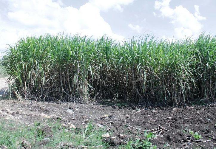 La variedad de caña que actualmente se siembra en el sur de Quintana Roo es la RD, la cual es resistente al virus del mosaico. (Edgardo Rodríguez/SIPSE)