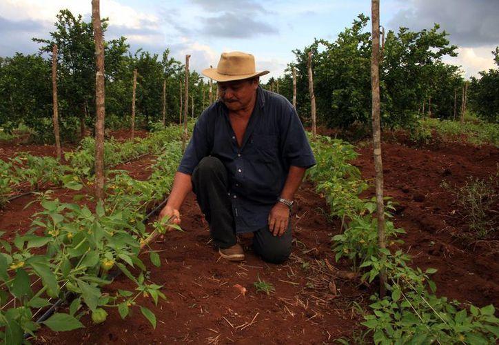 La Fundación guía a los campesinos para obtener mejores resultados. (Milenio Novedades)