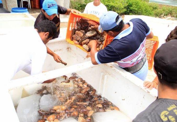 Decomiso de 640 kilos de pepino de mar ocurrido en Dzilam de Bravo el 9 de mayo. (SIPSE/Archivo)
