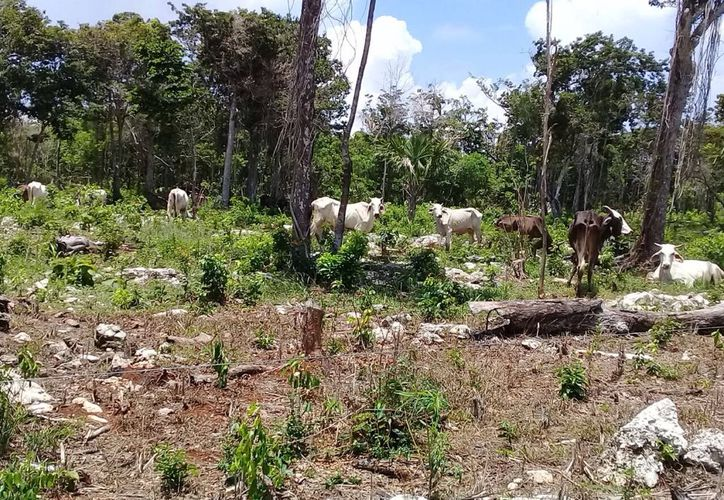 Unas 700 cabezas de ganado criados en ranchos del norte de Solidaridad, podrán mantenerse sanas. (Octavio Martínez)