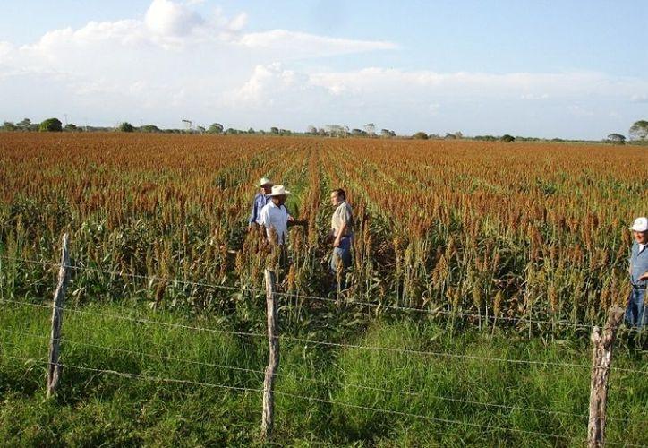 Los productores temen que de continuar las bajas temperaturas por la noche, y la falta de lluvias se pueda perder toda la cosecha. (Edgardo Rodríguez/SIPSE)