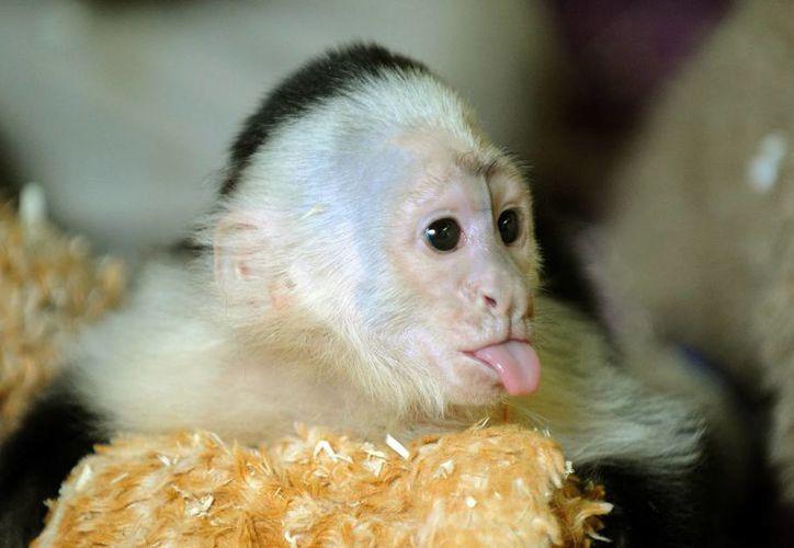 Mally vivirá con otros seis monos capuchinos en Alemania. (Agencias)