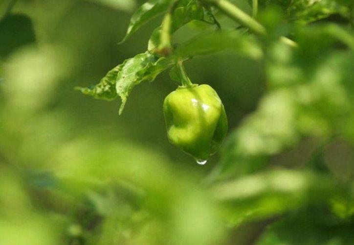 La nueva variedad tiene frutos de color verde esmeralda brillante en estado sazón, que cambian a anaranjado intenso en madurez total. (Edgardo Rodríguez/SIPSE)