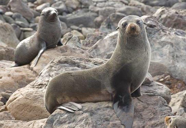 La cacería hizo que la especie estuviera a punto de la extinción a finales del siglo XIX (Andy Murch/elasmodiver.com)