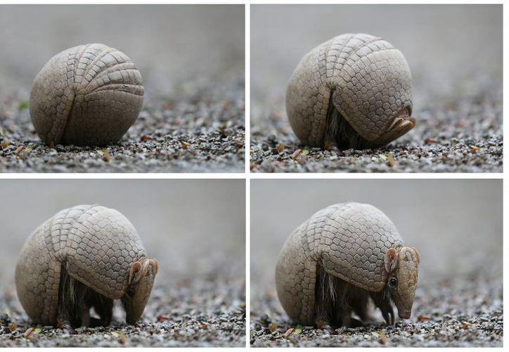Para defenderse, el armadillo se encierra en su caparazón de forma similar a como los hacen las tortugas. (EFE)