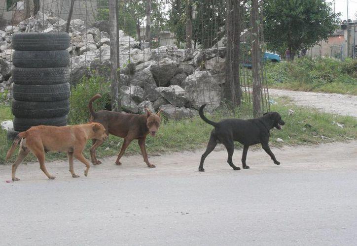 En las comunidades existen muchos perros en las calles. (Tomás Álvarez/SIPSE)