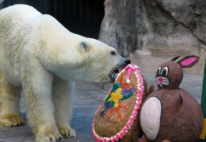 """""""Winner"""" rompe un huevo de Pascua adornado con alimento en el interior del zoológico de Buenos Aires. (clarin.com)"""