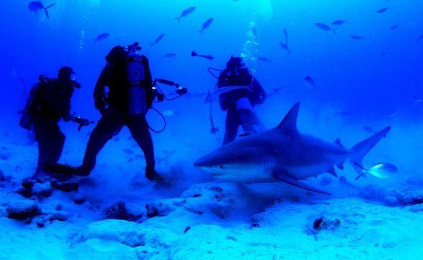 La organización Saving Our Sharks advierte que los tiburones toro pudieron ser ahuyentados por el ruido. (Cortesía/Phantom Divers)